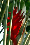 Heliconia 'Perfection'
